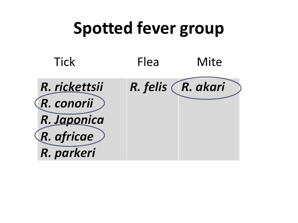 Spotted fever group Tick Flea Mite