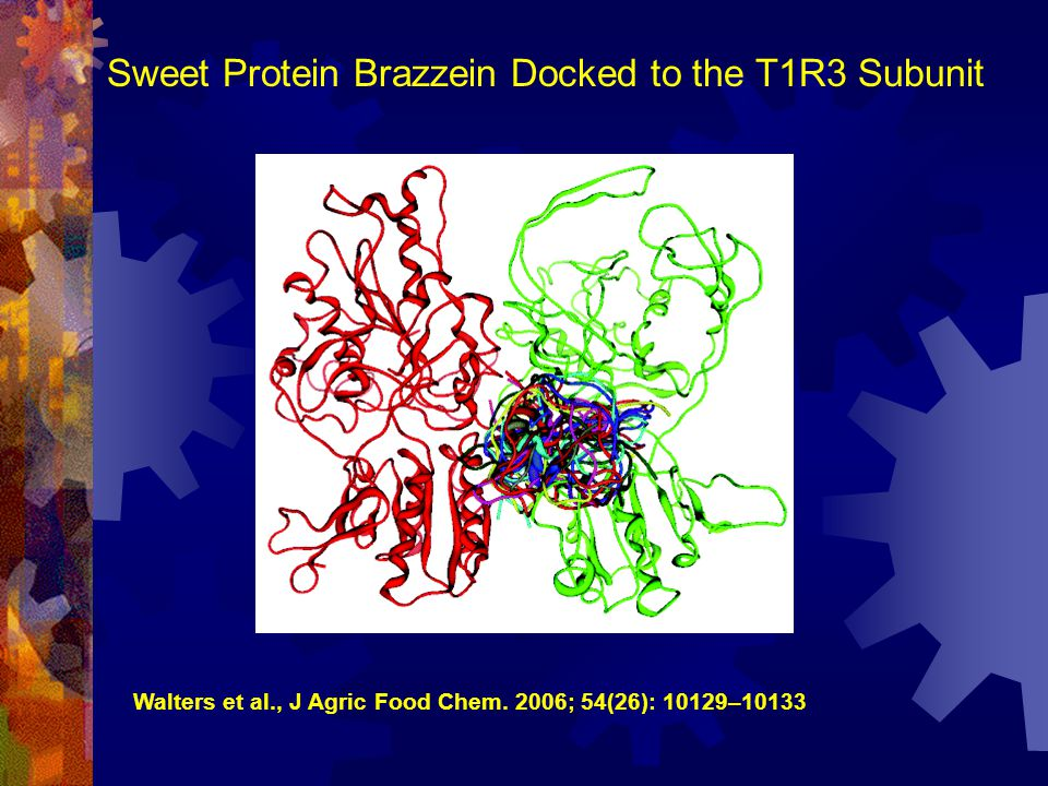 Sweet Protein Brazzein Docked to the T1R3 Subunit