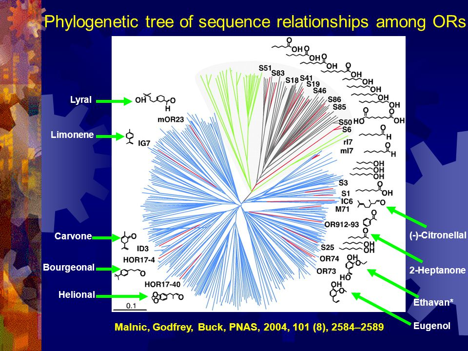 Phylogenetic tree of sequence relationships among ORs