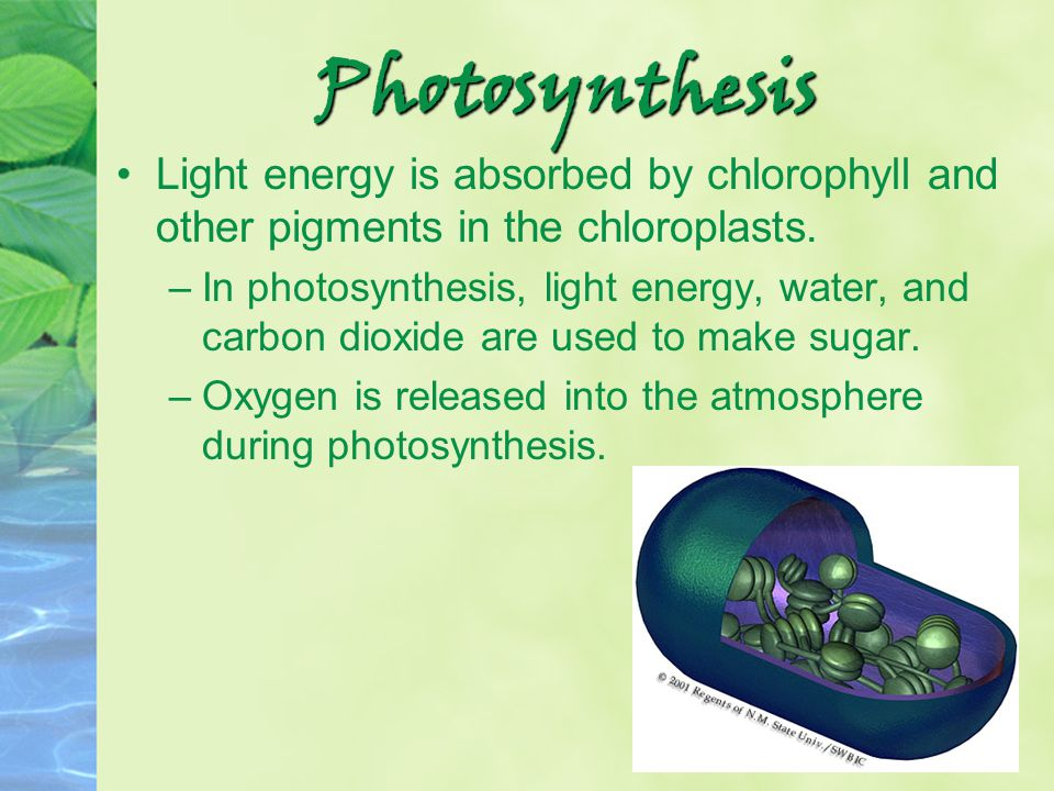 Photosynthesis Light energy is absorbed by chlorophyll and other pigments in the chloroplasts.