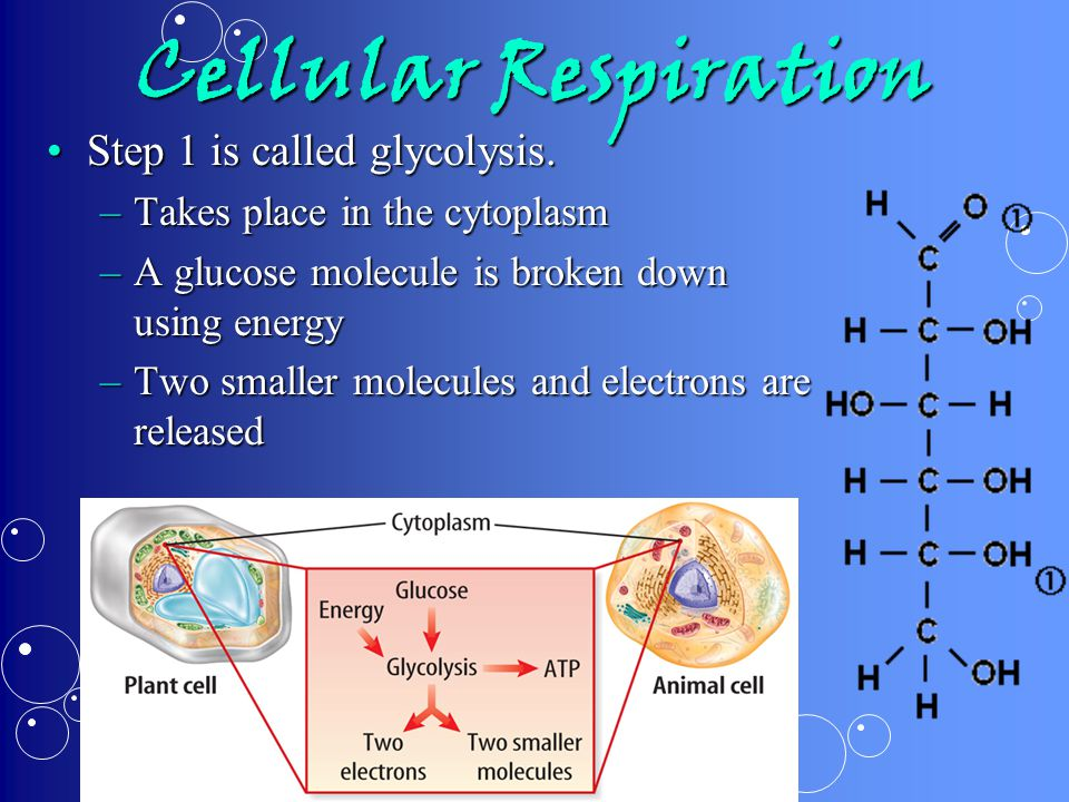 Cellular Respiration Step 1 is called glycolysis.