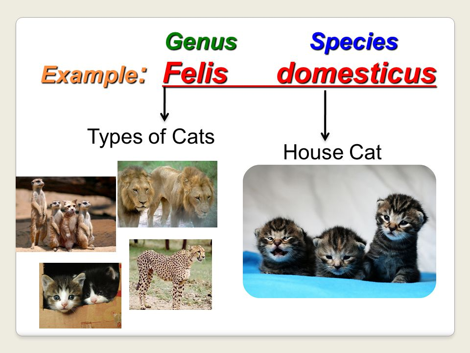 Genus Species Example: Felis domesticus