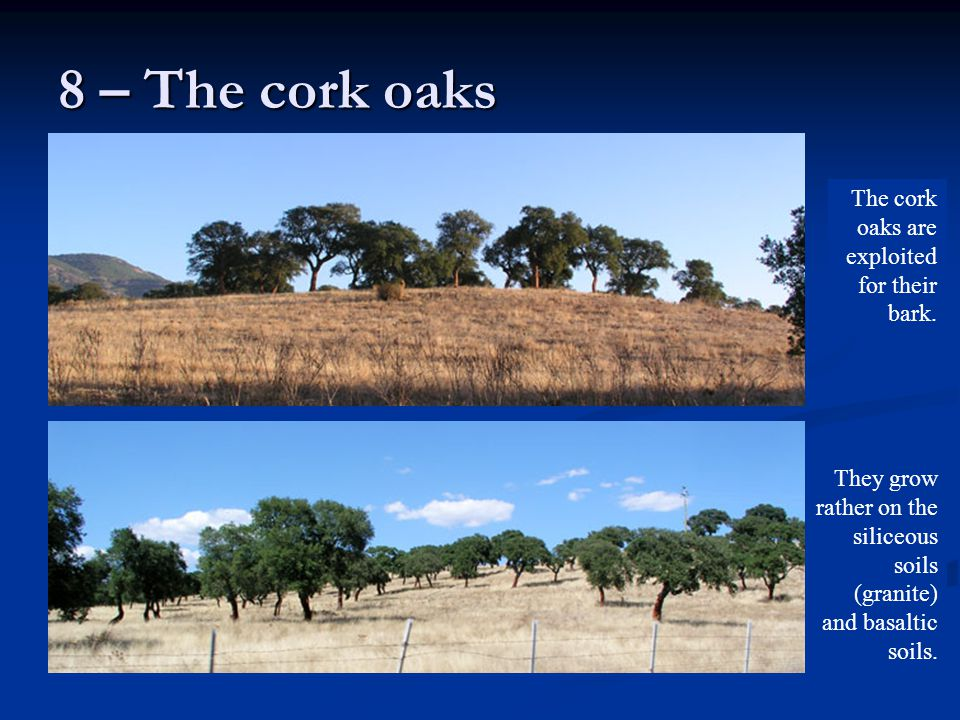 8 – The cork oaks The cork oaks are exploited for their bark.