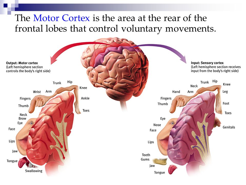 The Motor Cortex is the area at the rear of the frontal lobes that control voluntary movements.