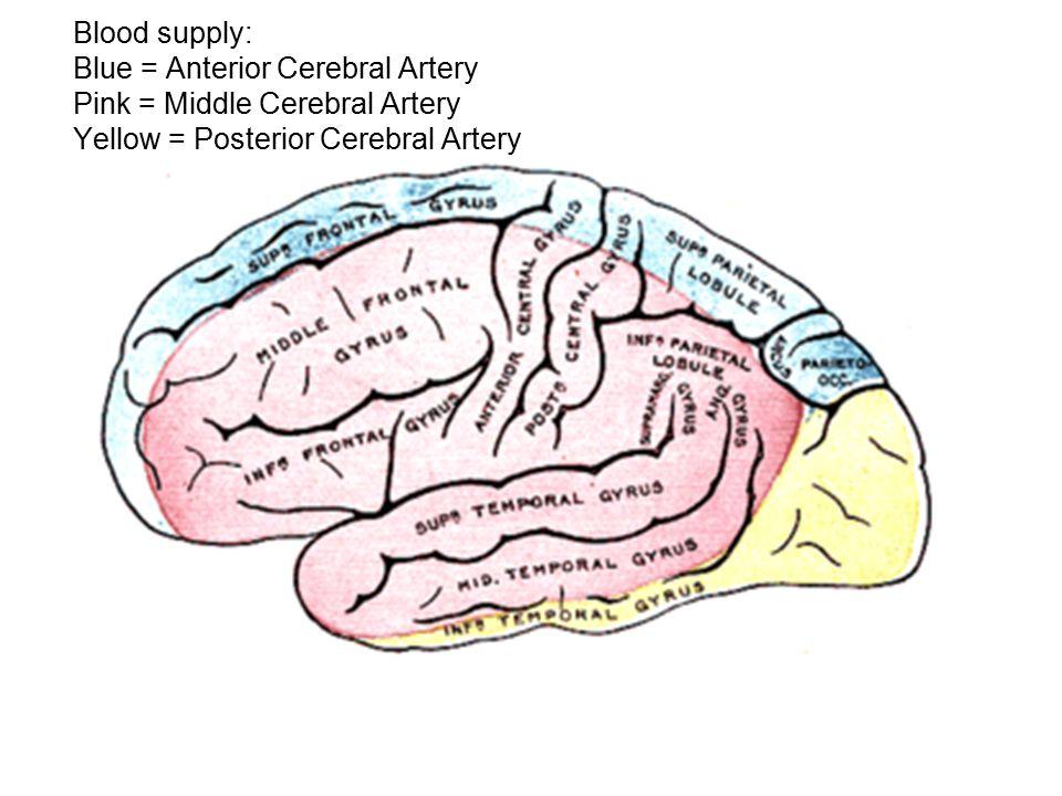 Blood supply: Blue = Anterior Cerebral Artery Pink = Middle Cerebral Artery Yellow = Posterior Cerebral Artery