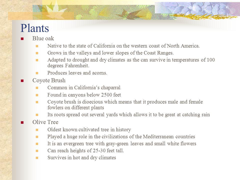 Plants Blue oak Coyote Brush Olive Tree