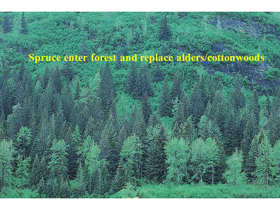 Spruce enter forest and replace alders/cottonwoods