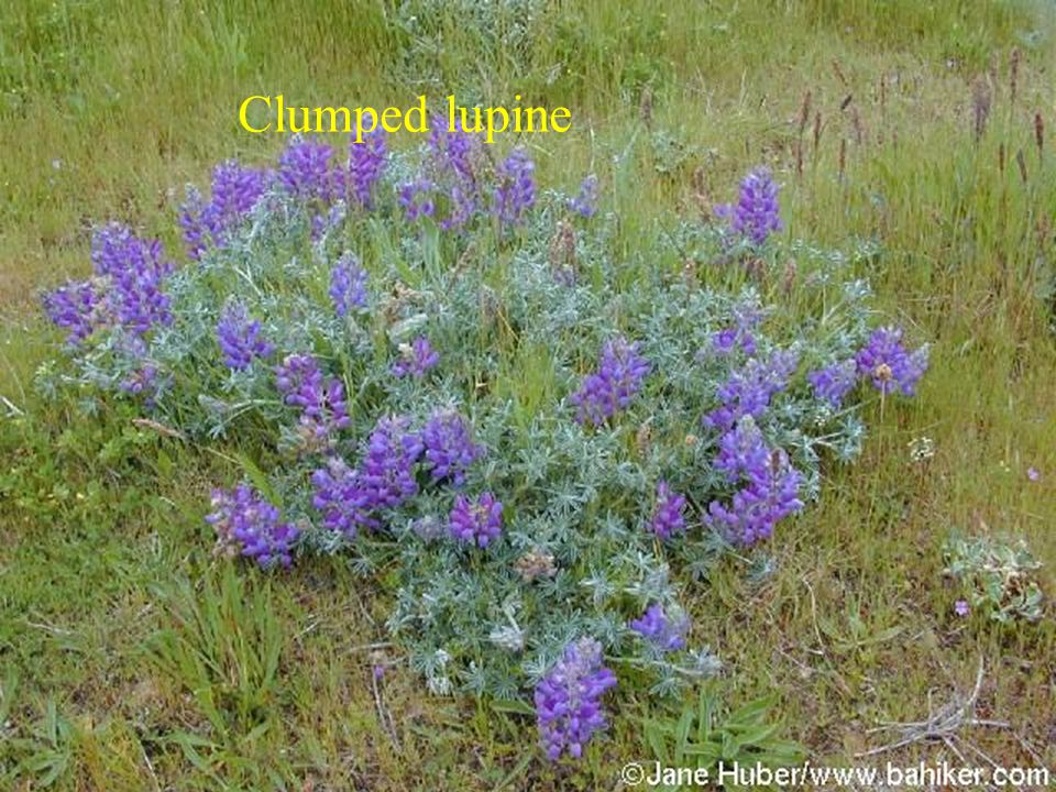 Clumped lupine