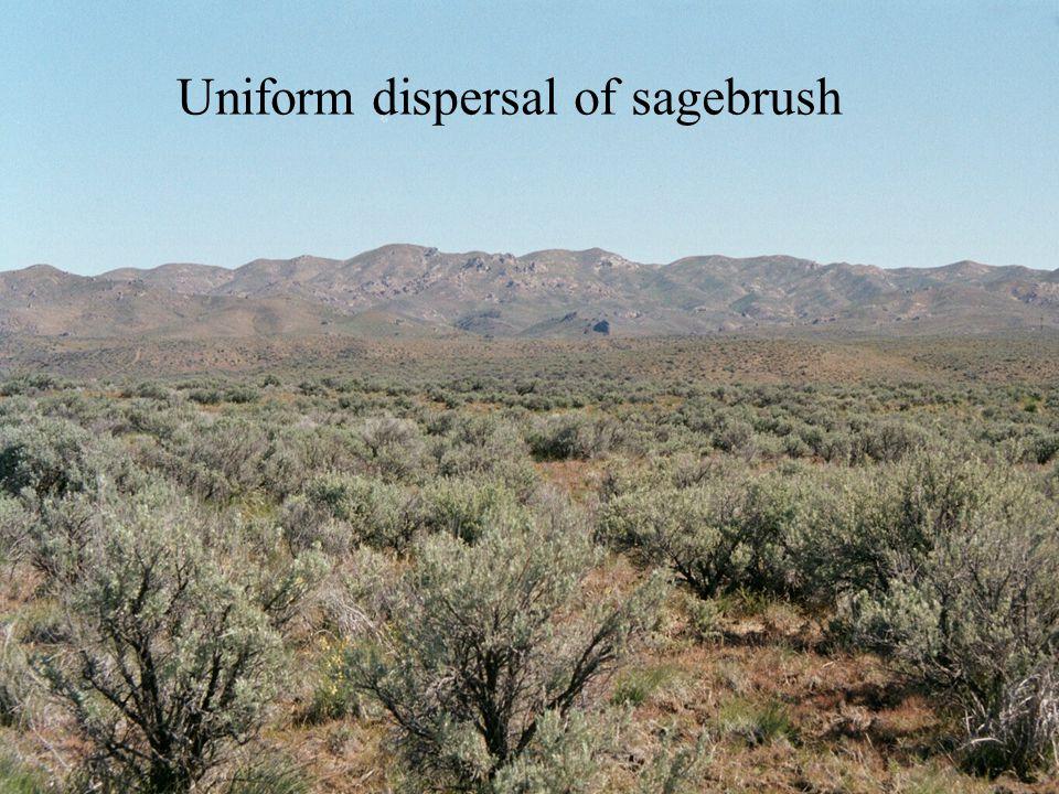 Uniform dispersal of sagebrush