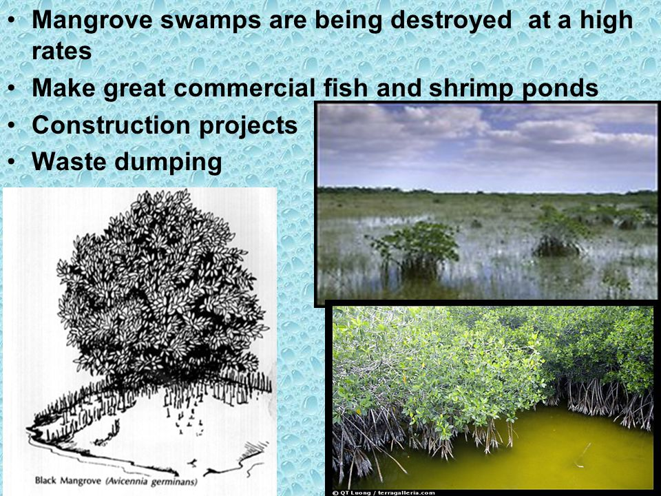 Mangrove swamps are being destroyed at a high rates