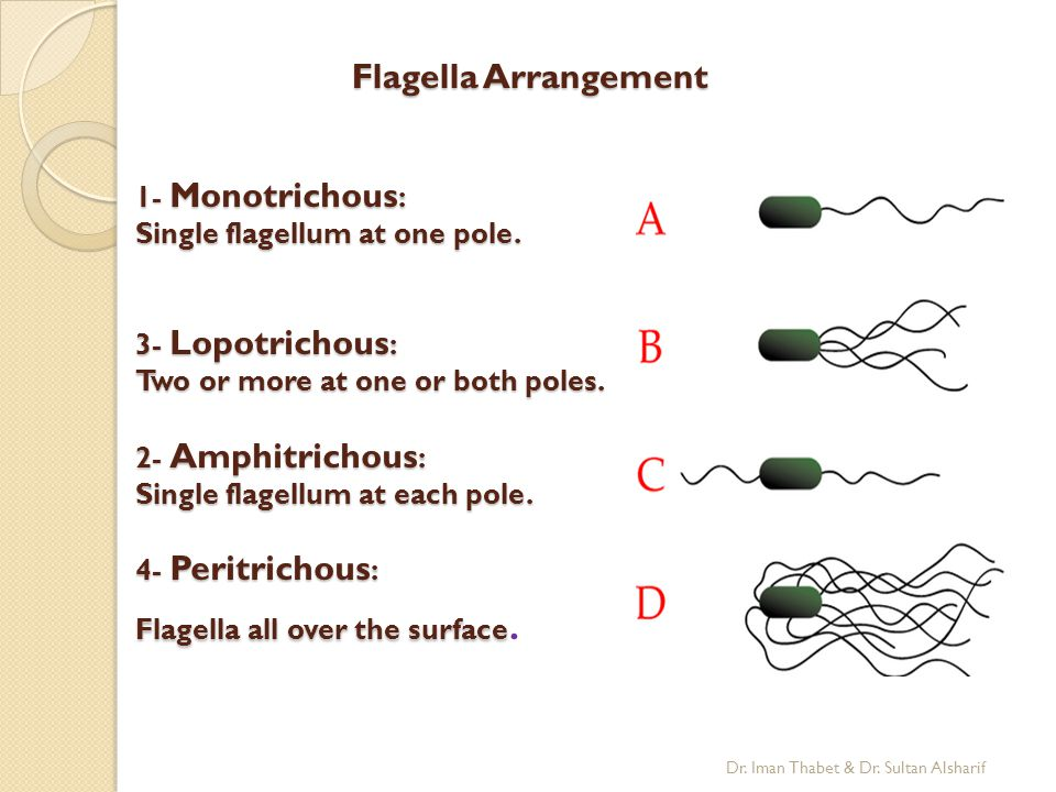 Flagella Arrangement 1- Monotrichous: Single flagellum at one pole.