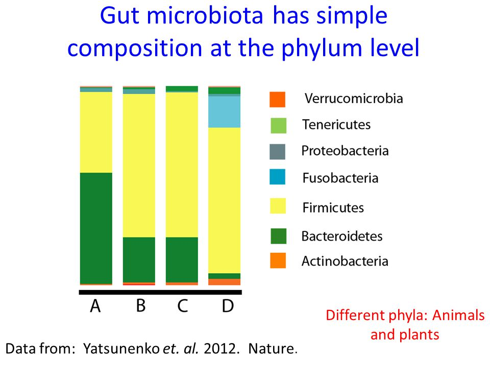 Gut microbiota has simple composition at the phylum level