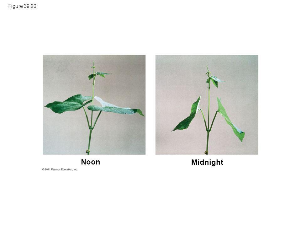 Figure 39.20 Figure 39.20 Sleep movements of a bean plant (Phaseolus vulgaris). Noon Midnight