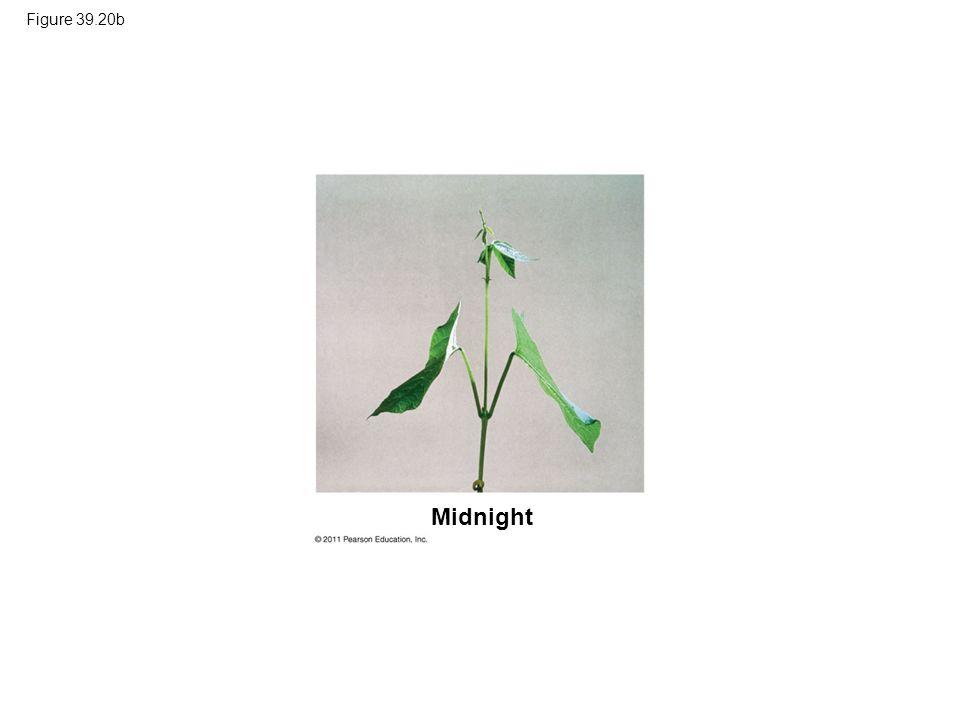 Figure 39.20b Figure 39.20 Sleep movements of a bean plant (Phaseolus vulgaris). Midnight