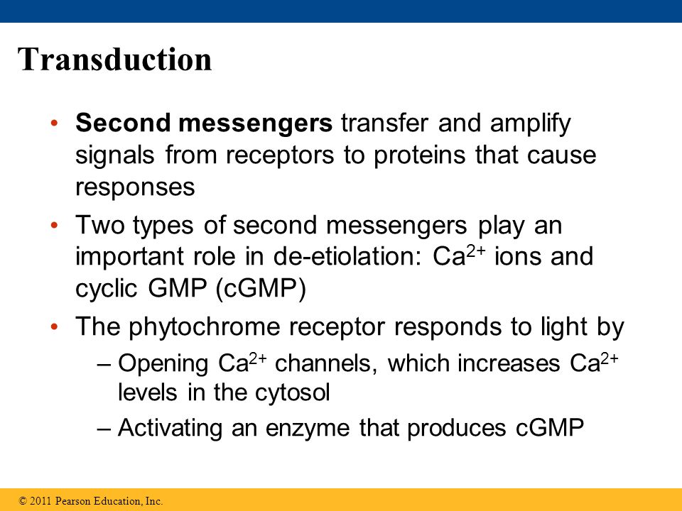 Transduction Second messengers transfer and amplify signals from receptors to proteins that cause responses.