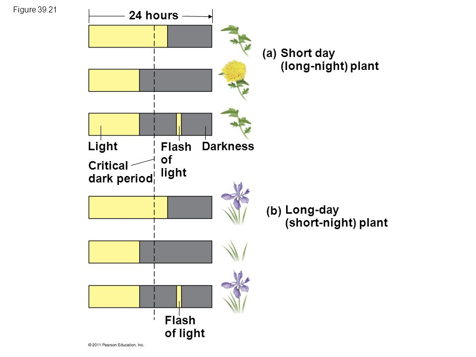 Short day (long-night) plant