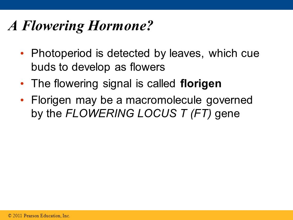 A Flowering Hormone Photoperiod is detected by leaves, which cue buds to develop as flowers. The flowering signal is called florigen.