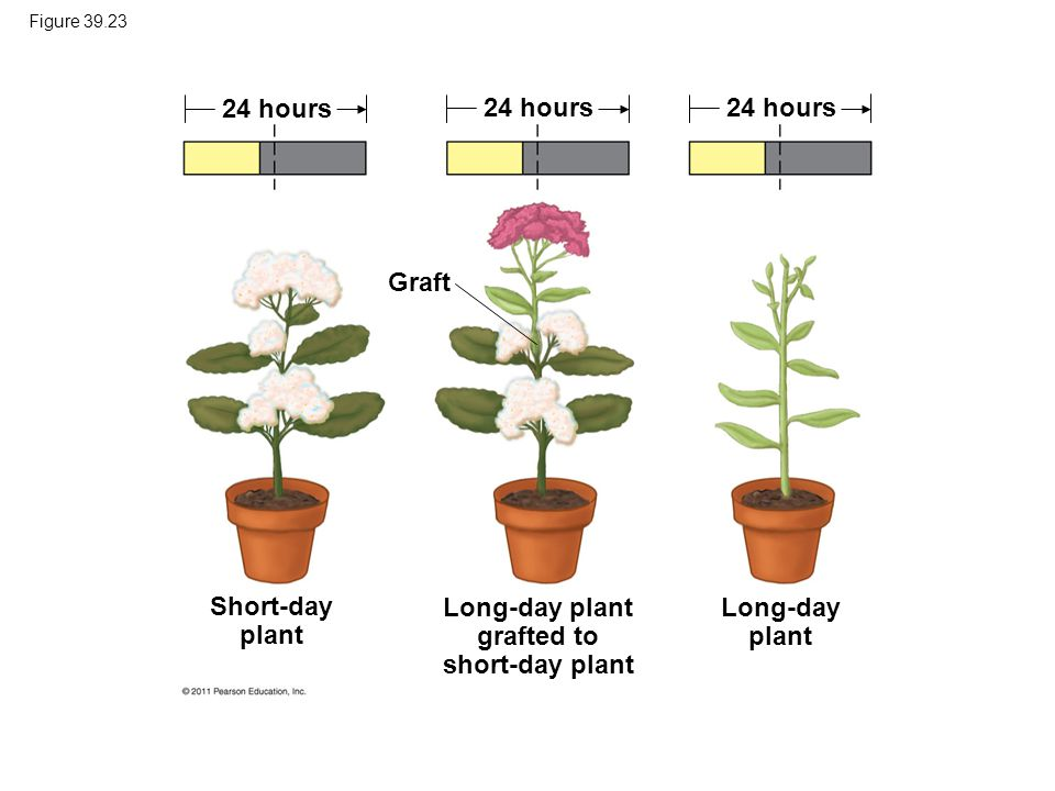 Long-day plant grafted to short-day plant
