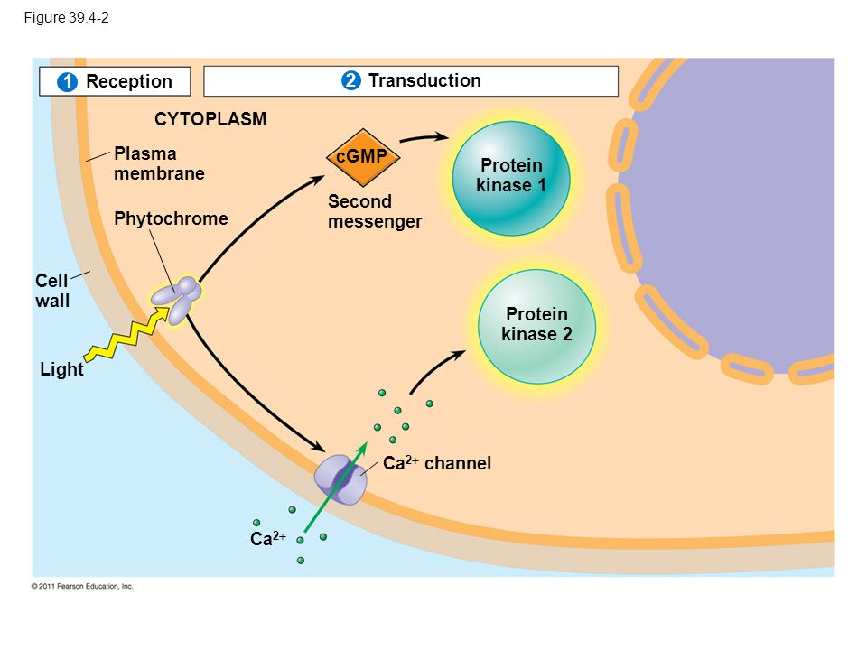 Protein kinase 1 Protein kinase 2