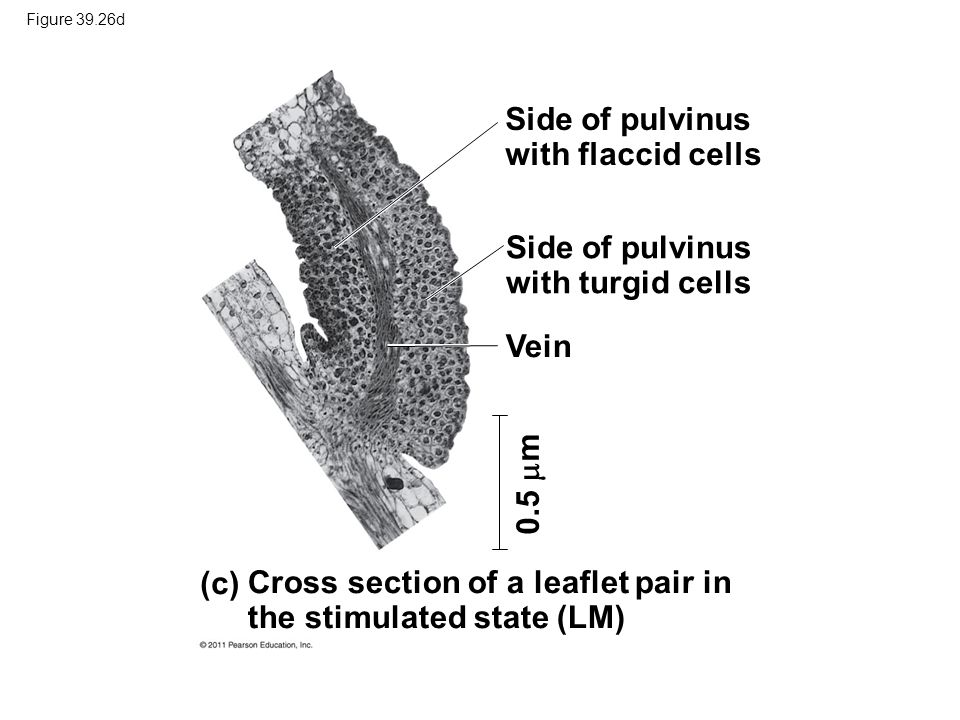 Side of pulvinus with flaccid cells