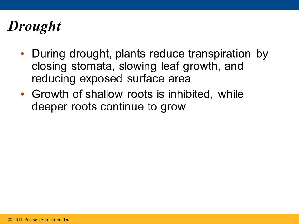 Drought During drought, plants reduce transpiration by closing stomata, slowing leaf growth, and reducing exposed surface area.