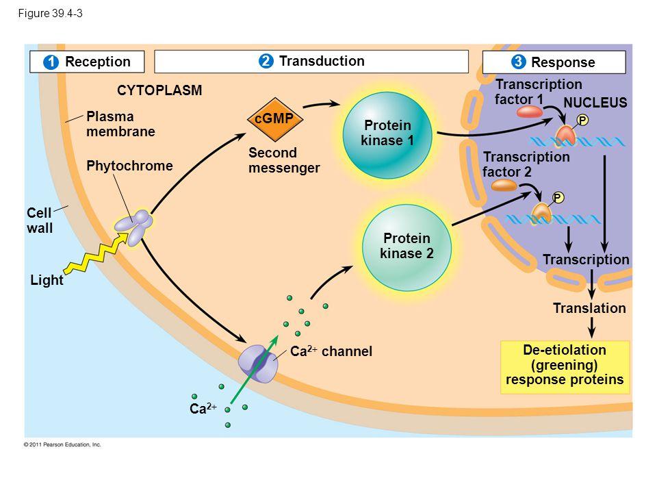 De-etiolation (greening) response proteins