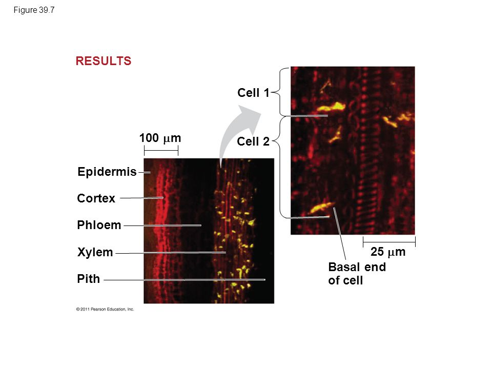 RESULTS Cell 1 100 m Cell 2 Epidermis Cortex Phloem Xylem 25 m