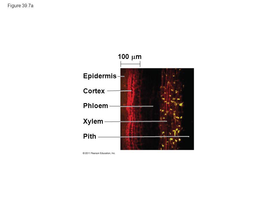 100 m Epidermis Cortex Phloem Xylem Pith Figure 39.7a