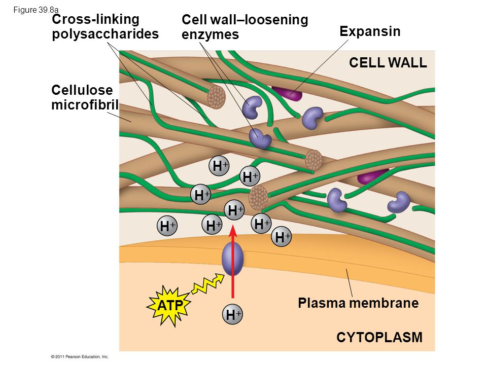 Cross-linking polysaccharides Cell wall–loosening enzymes Expansin