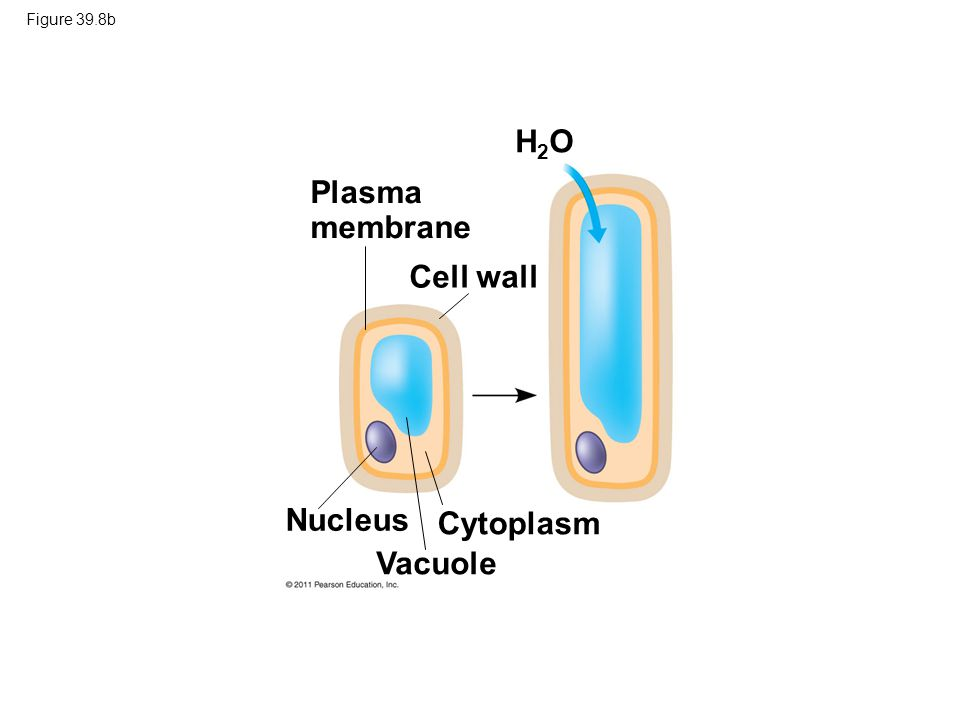 H2O Plasma membrane Cell wall Nucleus Cytoplasm Vacuole Figure 39.8b