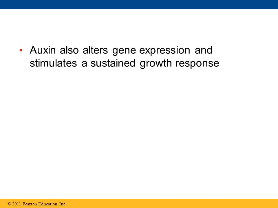Auxin also alters gene expression and stimulates a sustained growth response