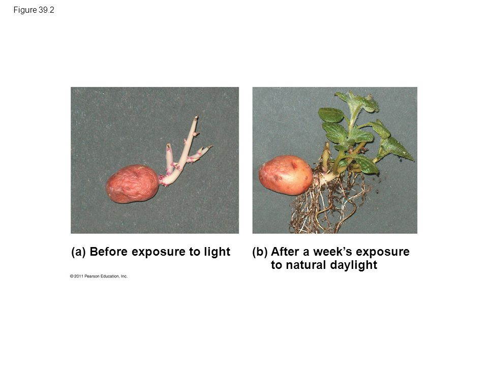(a) Before exposure to light (b)