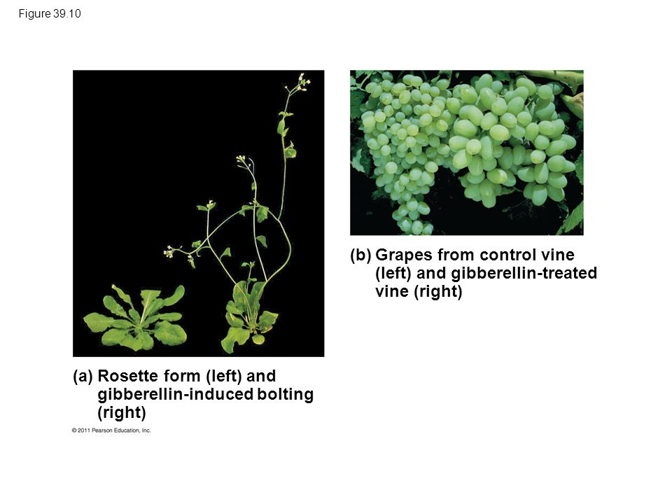 Grapes from control vine (left) and gibberellin-treated vine (right)