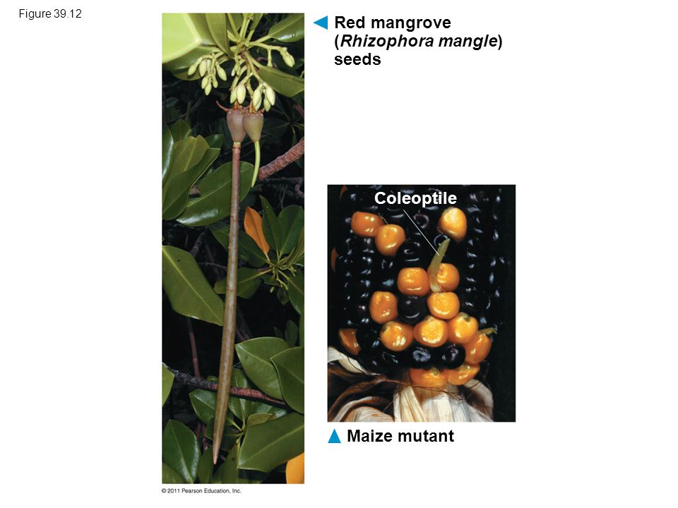 Red mangrove (Rhizophora mangle) seeds
