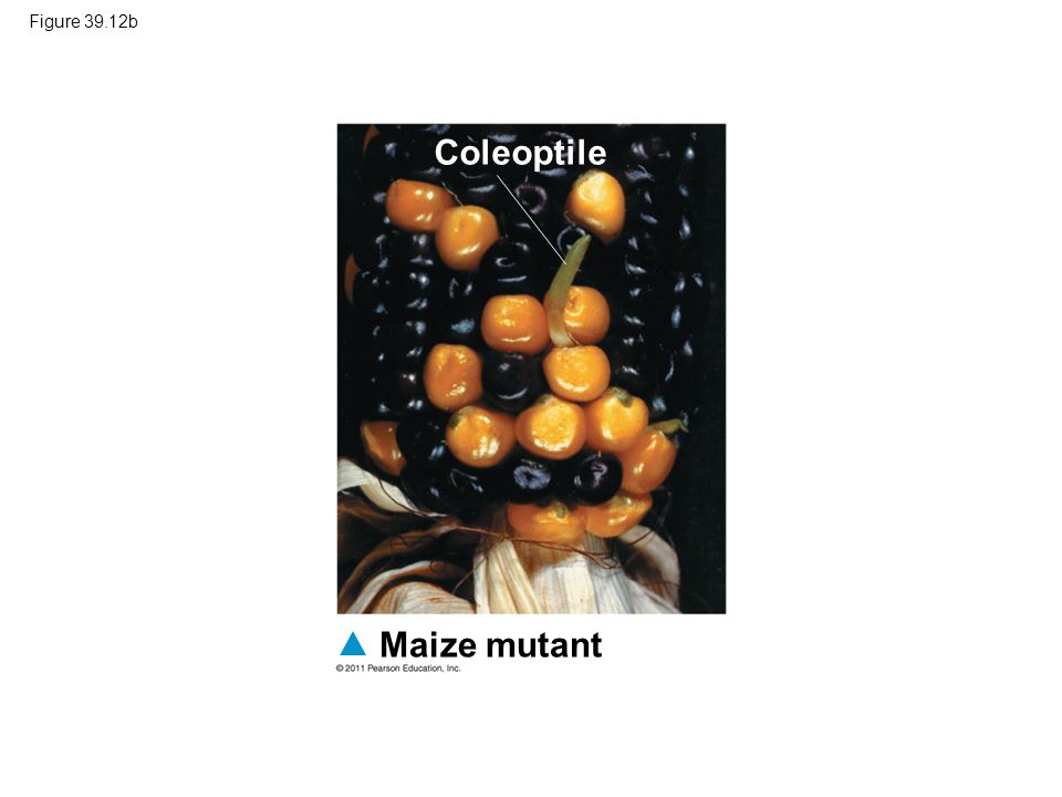 Coleoptile Maize mutant Figure 39.12b
