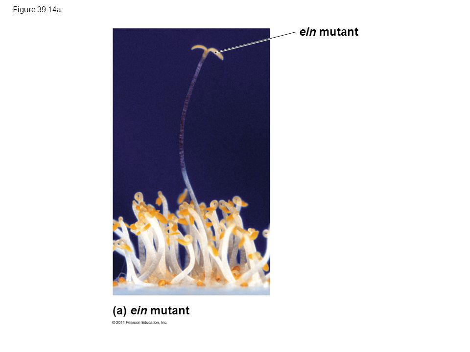 ein mutant (a) ein mutant Figure 39.14a