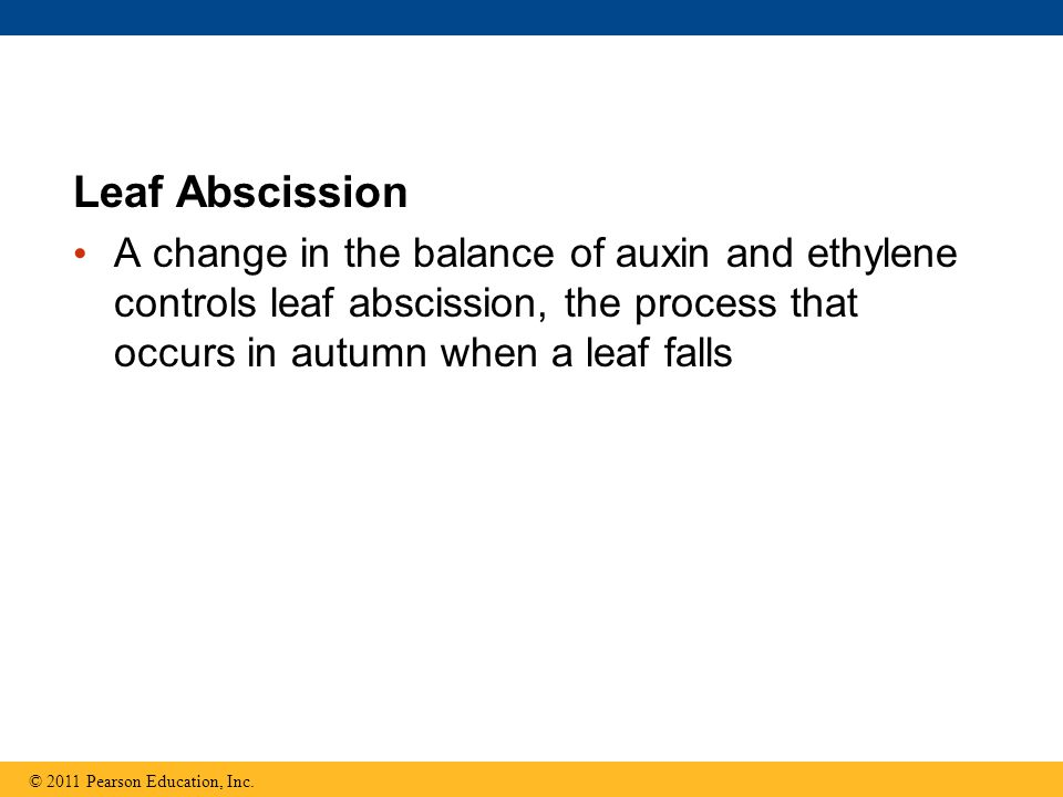 Leaf Abscission A change in the balance of auxin and ethylene controls leaf abscission, the process that occurs in autumn when a leaf falls.