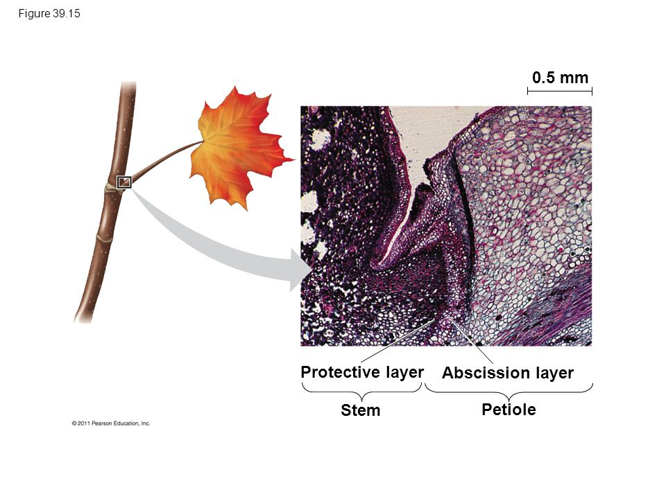 0.5 mm Protective layer Abscission layer Stem Petiole Figure 39.15