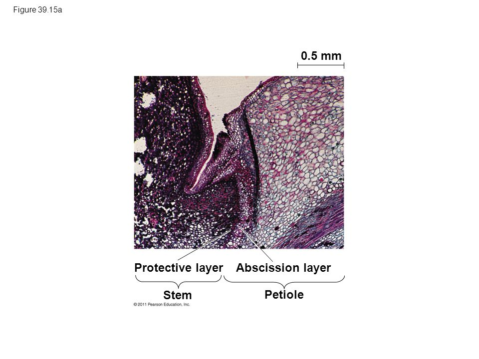 0.5 mm Protective layer Abscission layer Stem Petiole Figure 39.15a