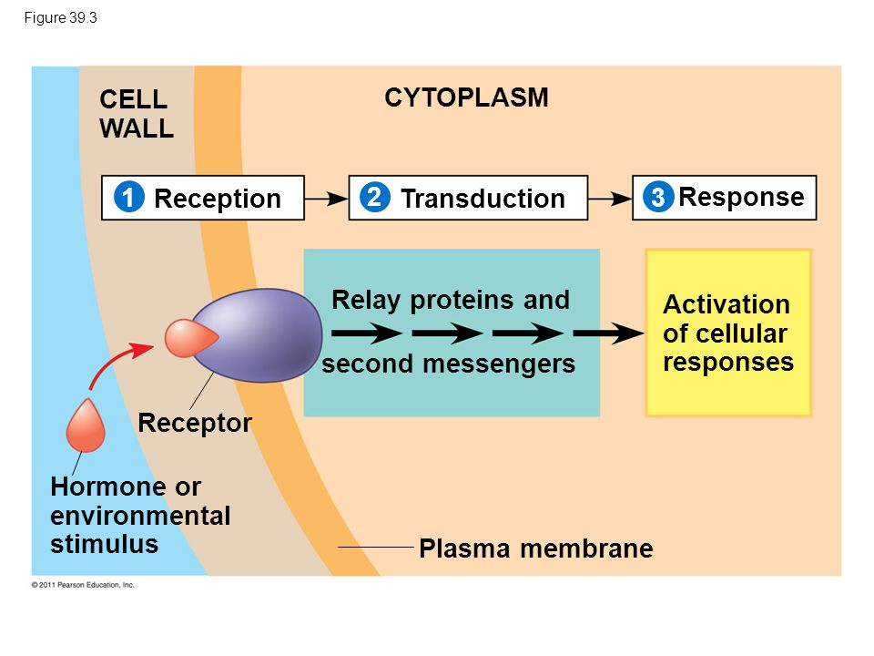 Activation of cellular responses