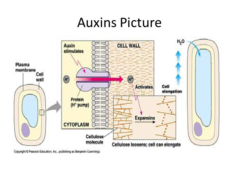 Auxins Picture