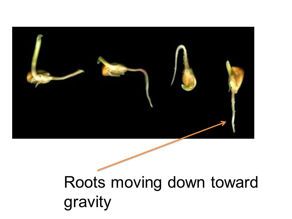 Roots moving down toward gravity