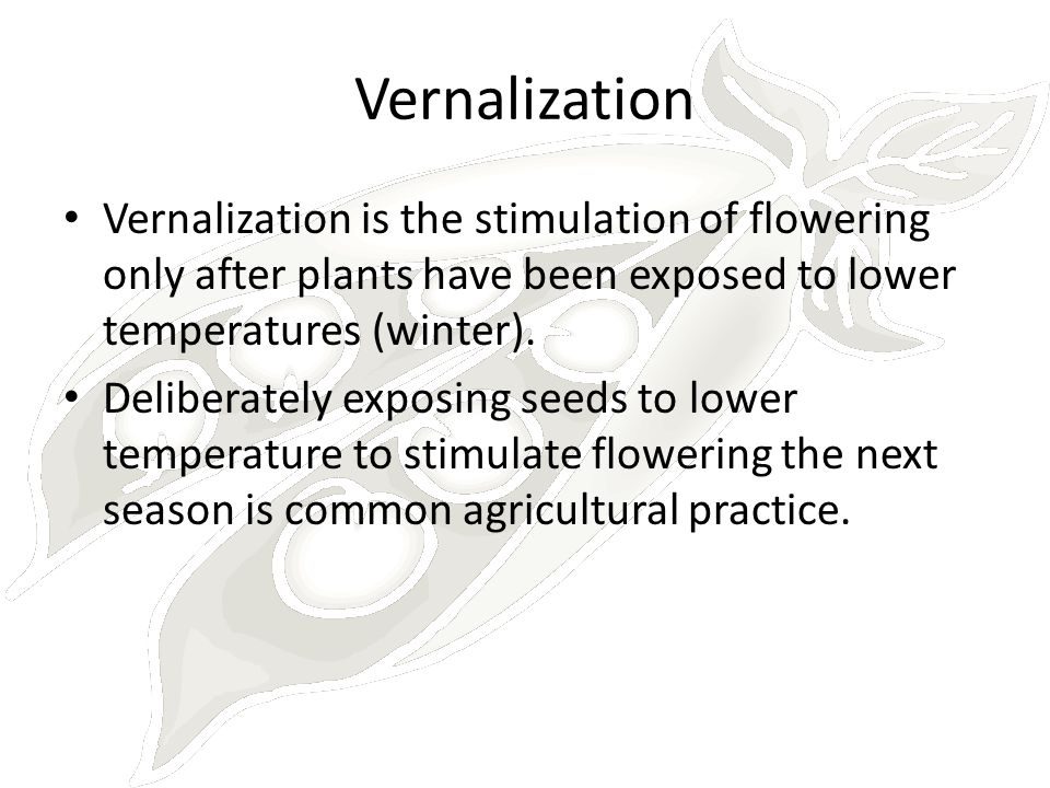Vernalization Vernalization is the stimulation of flowering only after plants have been exposed to lower temperatures (winter).