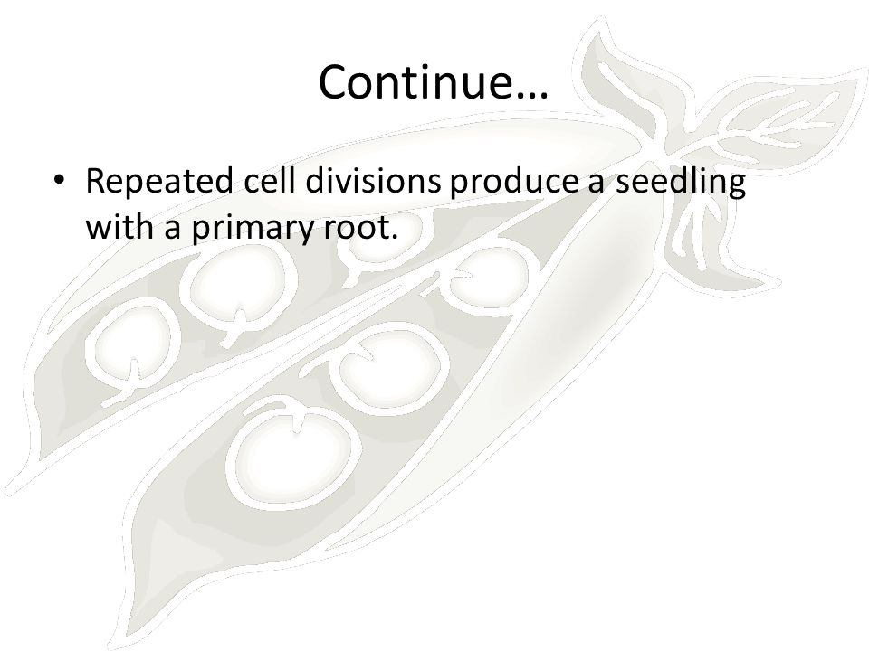 Continue… Repeated cell divisions produce a seedling with a primary root.