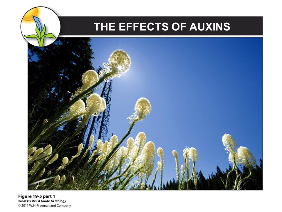 THE EFFECTS OF AUXINS