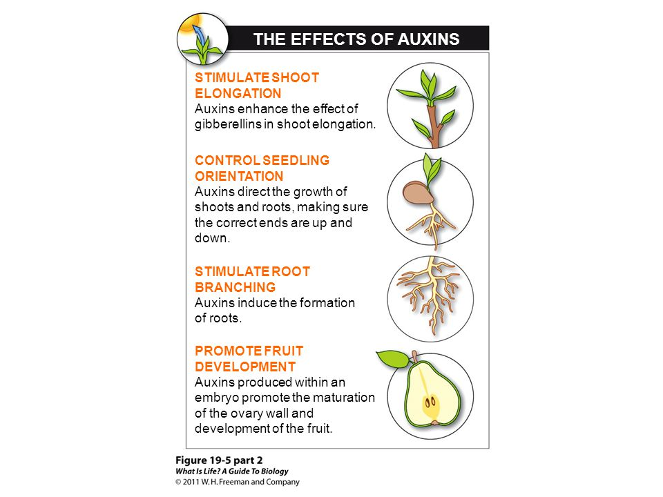 THE EFFECTS OF AUXINS STIMULATE SHOOT ELONGATION