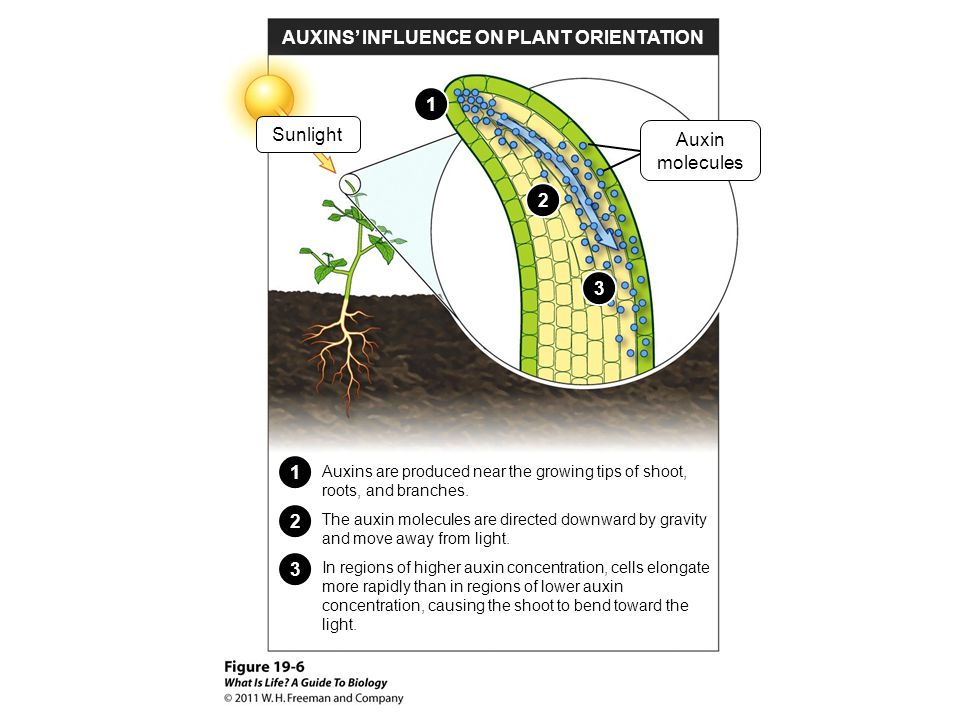 AUXINS' INFLUENCE ON PLANT ORIENTATION