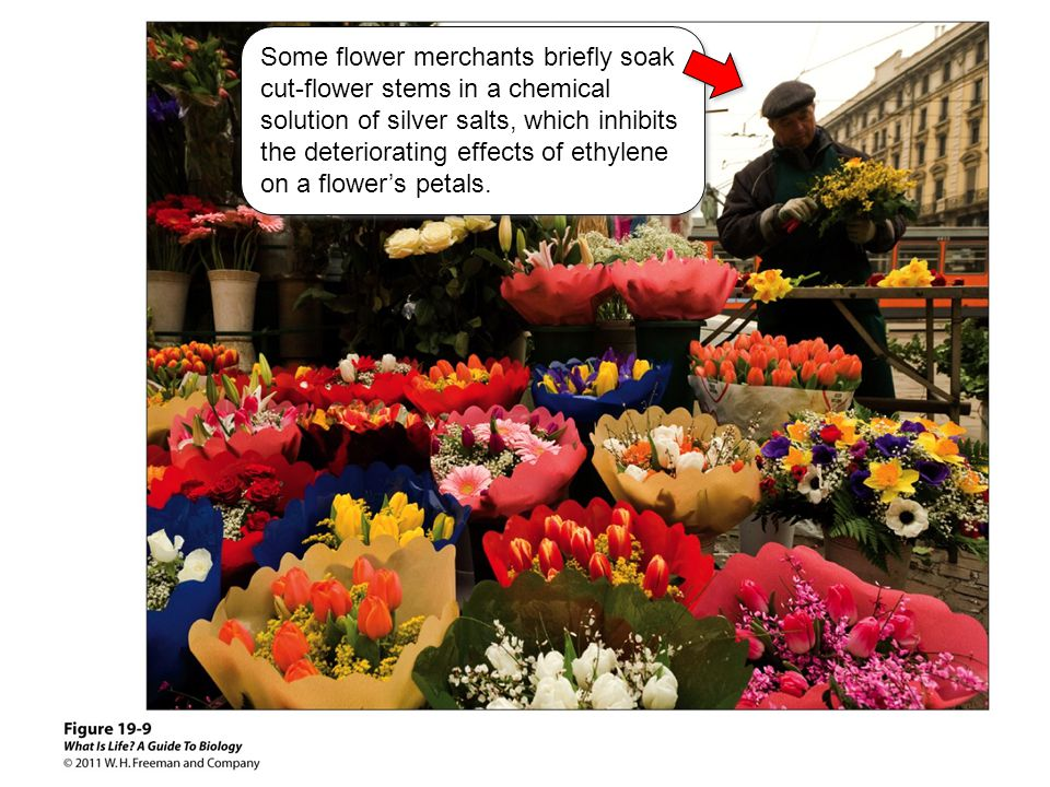 Some flower merchants briefly soak cut-flower stems in a chemical solution of silver salts, which inhibits the deteriorating effects of ethylene on a flower's petals.