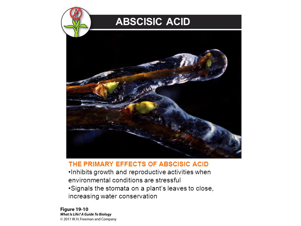 ABSCISIC ACID THE PRIMARY EFFECTS OF ABSCISIC ACID