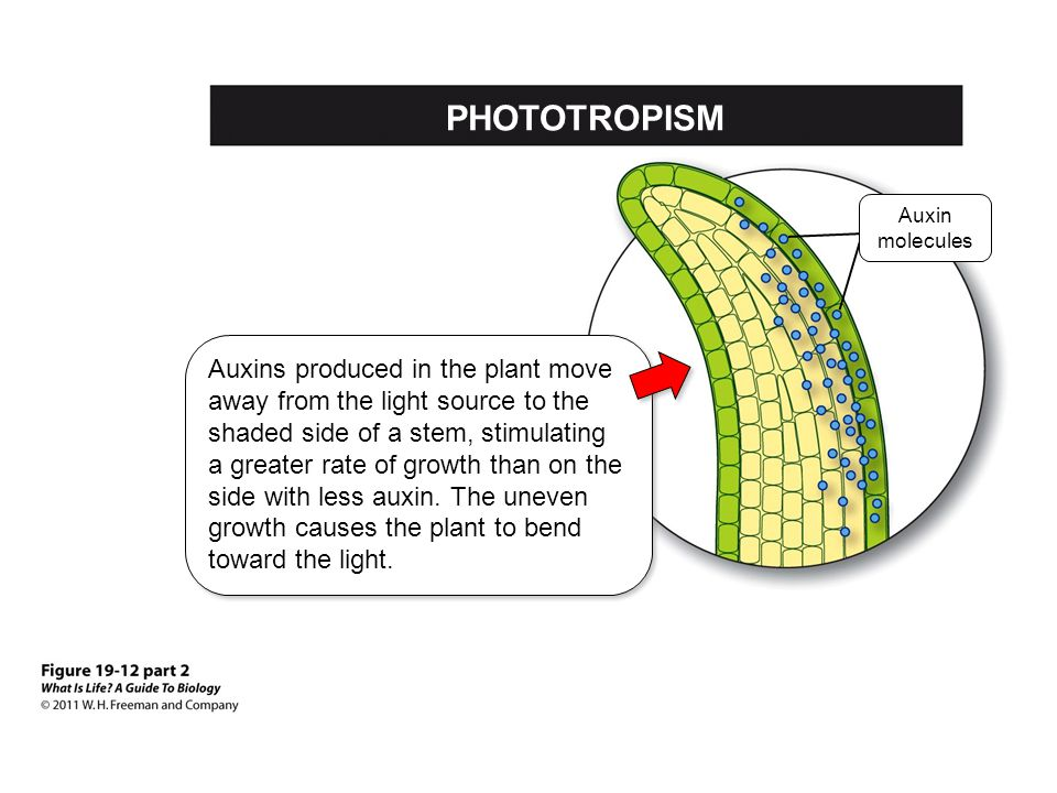 PHOTOTROPISM Auxin molecules.